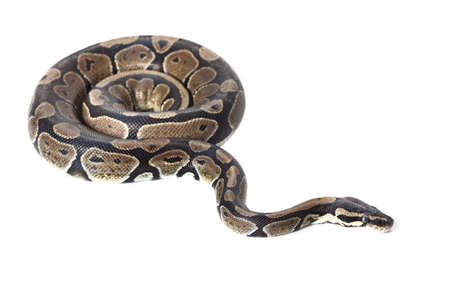 snake head: Royal Python, or Ball Python in studio against a white background.
