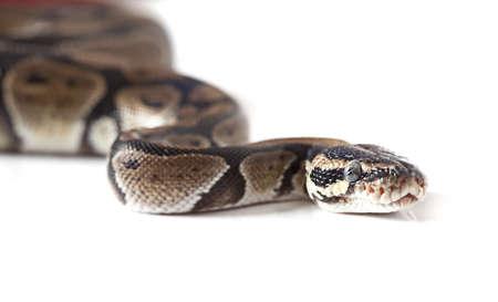 Python snake close-up isolated on white background Stock Photo - 16645892