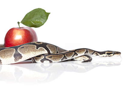 Royal Python with red apple on white background 스톡 콘텐츠