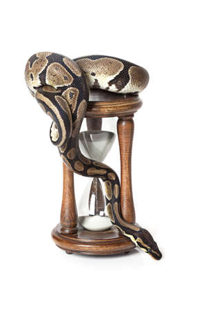 Royal Python with hourglass on white background Stock Photo - 16645899