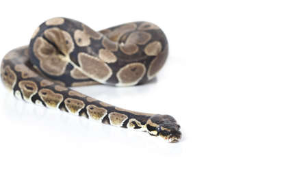 Royal Python in studio against a white background Stock Photo - 16645903