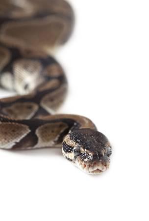 Portrait of Python snake isolated on white background Stock Photo - 16645906