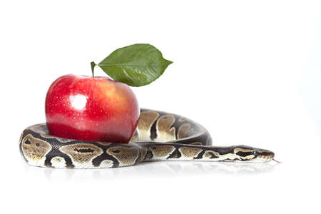 Royal Python with red apple on white background photo
