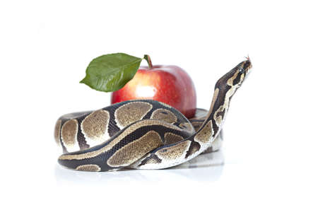 Royal Python with red apple isolated on white background