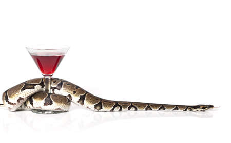 Royal Python with glass of red wine over white photo