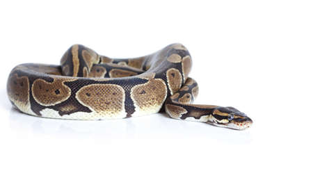 snake head: Royal Python snake in studio against a white background Stock Photo