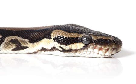 Portrait of Python snake closeup on white background Stock Photo - 16720368
