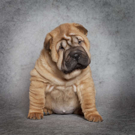 Portrait of Shar-Pei puppy dog against grey background Stock Photo - 16877397