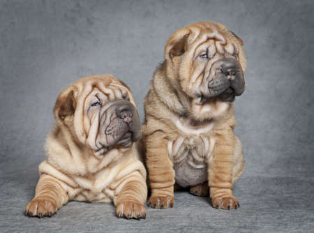 Two Shar-Pei puppy dogs against grey background Stock Photo - 16877399