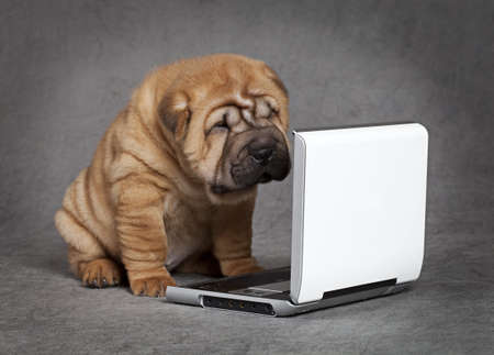 Shar-Pei puppy dog watching DVD player with attention 스톡 콘텐츠