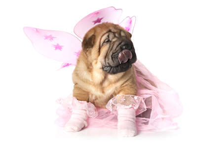 Chinese Shar-Pei Puppy dressed up for a party Stock Photo - 16877376