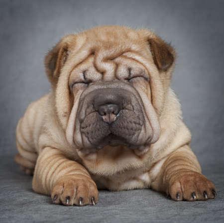 Portrait of sharpei puppy dog against grey background