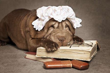 sharpei: Chinese sharpei grandma dog reads the book against grey background Stock Photo