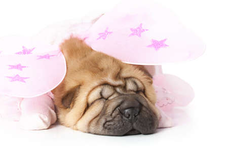 Chinese sharpei Puppy dressed up like a fairy Stock Photo - 16877403