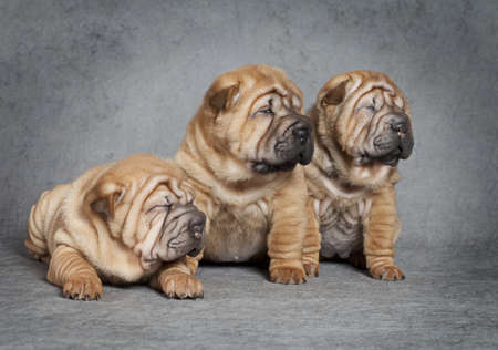One month old sharpei puppies against grey background Stock Photo - 16906415