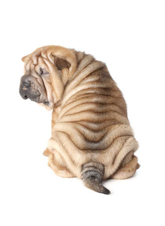 Portrait of sharpei puppy dog isolated over white Stock Photo - 16906412