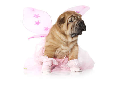 sharpei: Chinese Sharpei Puppy dressed up for a party