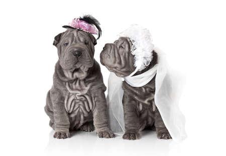 Twee sharpei puppy dog gekleed in bruiloft kledij, op een witte achtergrond Stockfoto