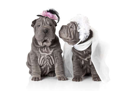 Two sharpei puppy dog dressed in wedding attire, on white background Stock Photo