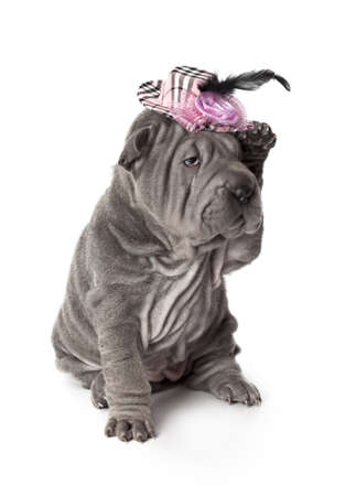 Portrait of sharpei puppy dog in a hat against white background Stock Photo - 17170107