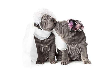 Two sharpei puppy dog dressed in wedding attire, on white background Stock Photo - 17170108
