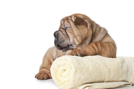 sharpei: Chinese sharpei puppy dog with a yellow towel
