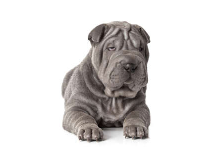 Portrait of sharpei puppy dog against white background Stock Photo - 17240075