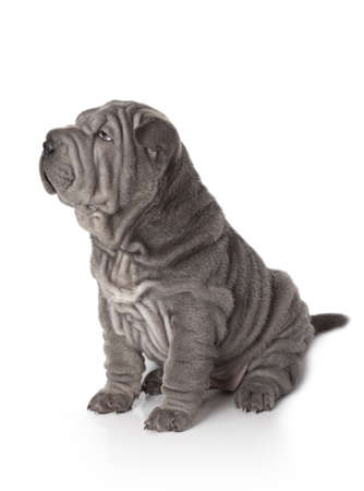 Portrait of sharpei puppy dog against white background Stock Photo - 17240063
