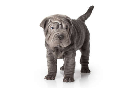 Portrait of sharpei puppy dog against white background Stock Photo - 17240056