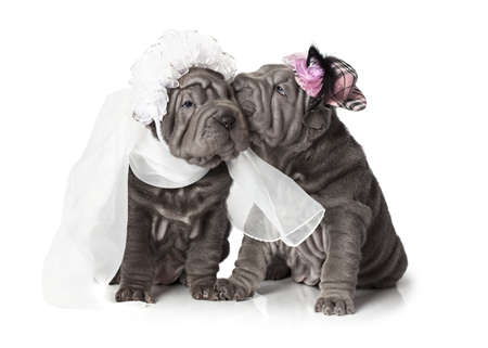 Twee sharpei puppy gekleed in bruiloft kledij, op een witte achtergrond