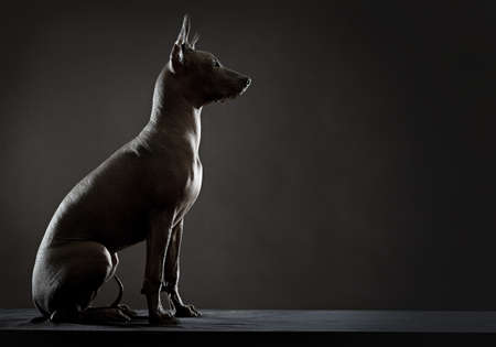 Mexican xoloitzcuintle dog sitting against black background. Low key