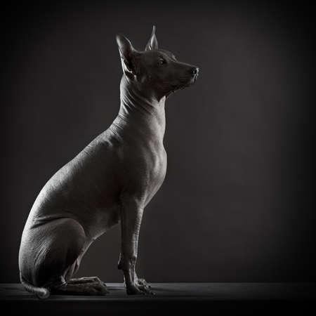 hairless: Mexican xoloitzcuintle dog on low key photo Stock Photo
