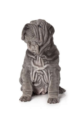 sharpei: Portrait of sharpei puppy dog against white background Stock Photo