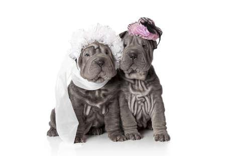 Two sharpei puppies dressed in wedding attire, on white background Standard-Bild