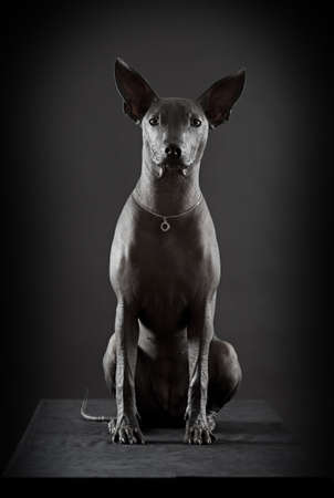hairless: Mexican xoloitzcuintle dog sitting against black background Stock Photo