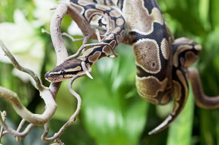 snake head: Royal Python creeping on a wooden branch