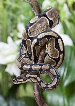 ロイヤルのパイソン蛇が木の枝に忍び寄る