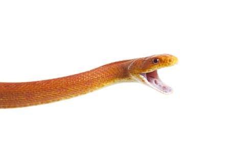 dead rat: Texas rat snake closeup on white background