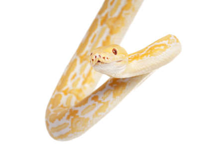 tiger isolated: Lavender Tiger Albino python isolated on white background Stock Photo