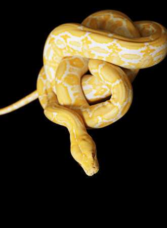 albino: Tiger Albino python isolated on black background