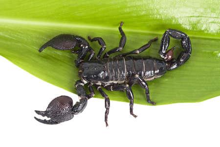 imperator: Black scorpion  Pandinus imperator  on a green leaf
