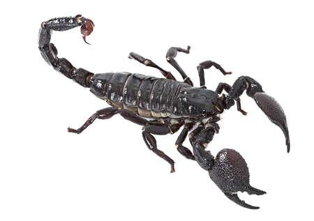 imperator: Emperor Scorpion (Pandinus imperator) isolated on white background Stock Photo