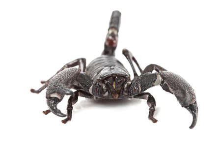 imperator: Front view of Emperor Scorpion (Pandinus imperator) isolated on white background Stock Photo