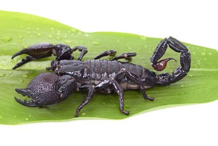 imperator: Emperor Scorpion (Pandinus imperator) on a green leaf closeup