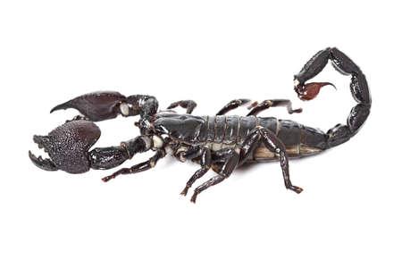 imperator: Emperor Scorpion (Pandinus imperator) isolated on white background. Closeup