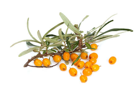 buckthorn: Juicy orange buckthorn berries on branches,  isolated on white