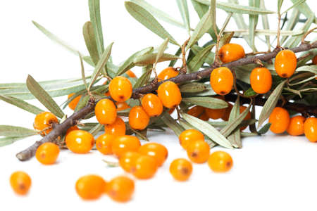 buckthorn: Orange buckthorn berries on branches,  isolated on white