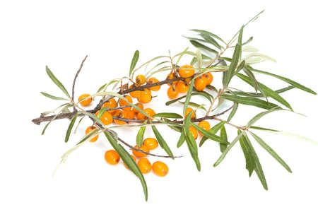 buckthorn: Branche of sea-buckthorn with juicy berries,  isolated on white