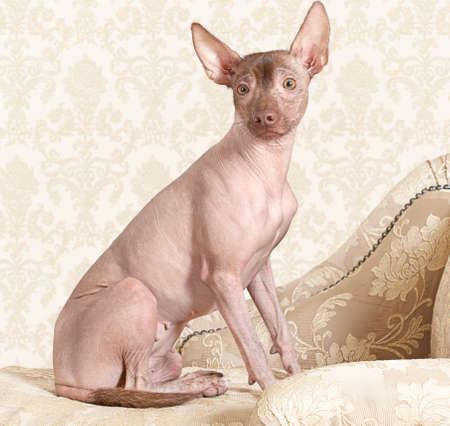 bitch: Portrait of hairless xoloitzcuintle dog on a antique couch