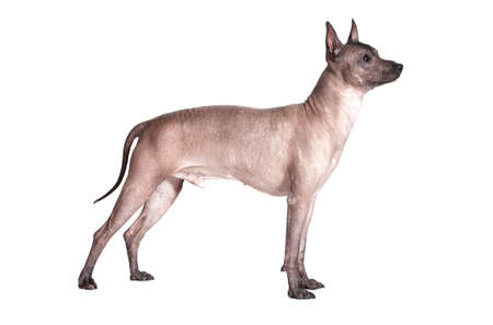 one animal: Mexican xoloitzcuintle male dog standing against white background  Stock Photo